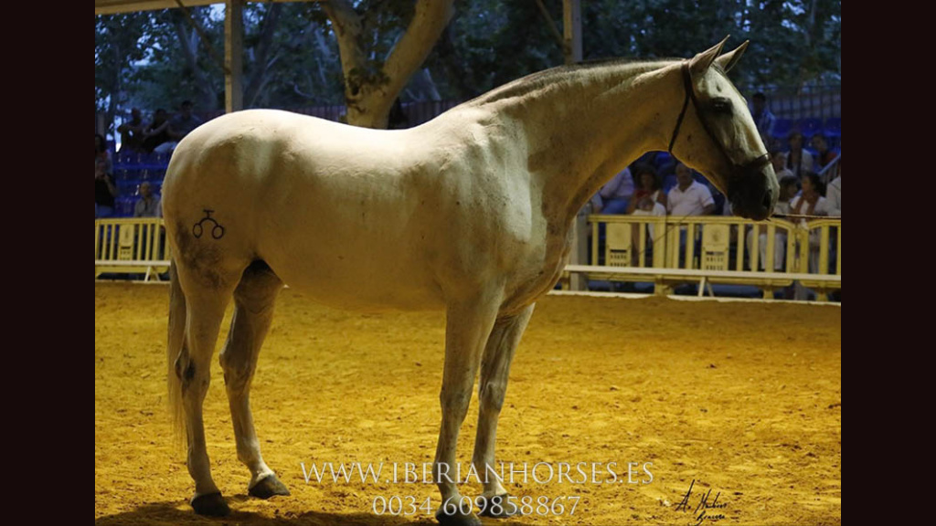 Grey PRE Mare  Qualified for sale. Cod 6419