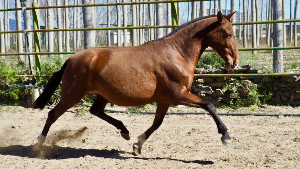 Spanish cartusian mare pregnand Valdeolivas for sale. Cod 6115