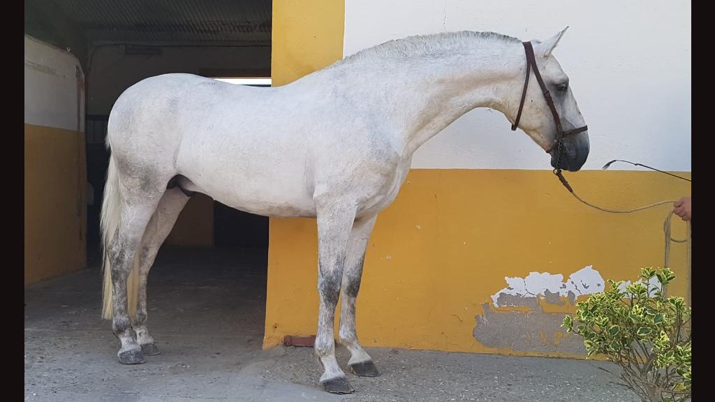 Bello Caballo  Español para  Ocio. Cod. 8388