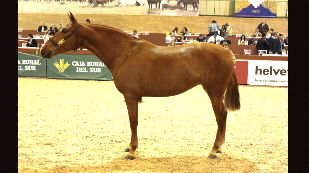 Chestnut  Andalusian Mare for Breeding and Morphological Shows. Cod. 8811