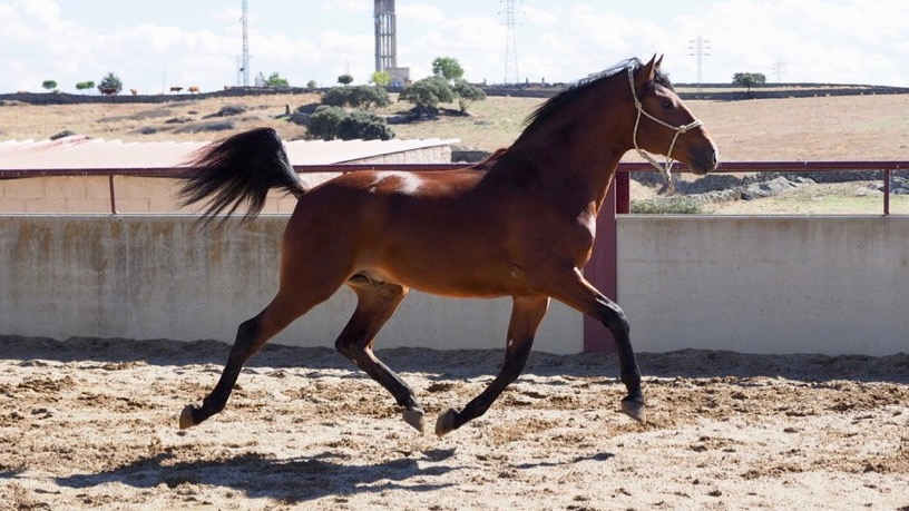 bay lusitano horse for sale