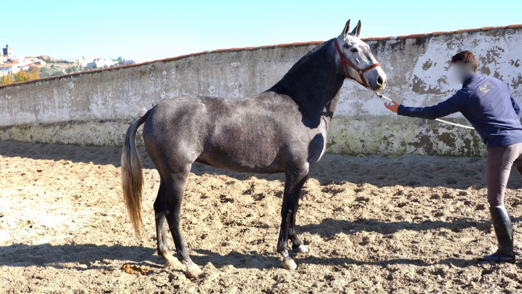 Grey  Andalusian Mare with good character. Cod. 8754