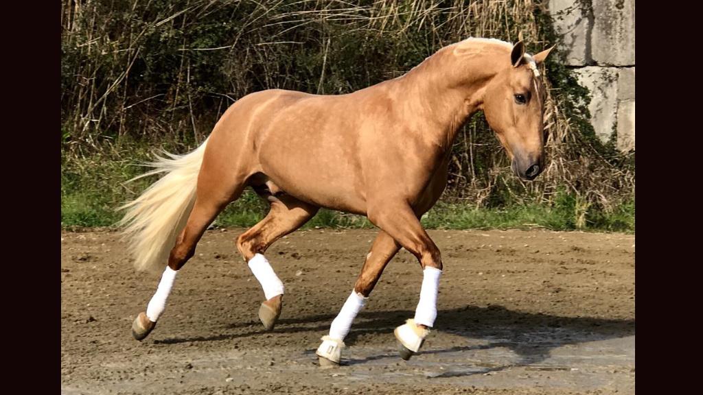 Andalusian palomino horse good quality