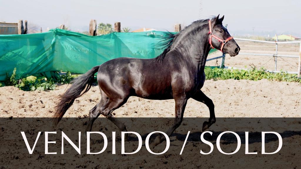 Caballos PRE Castaño barroco en venta. Cod. 9286