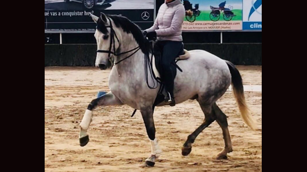 grey andalusian horse for sale