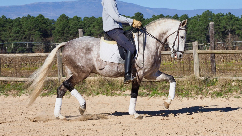 lusitano grey horse for sale