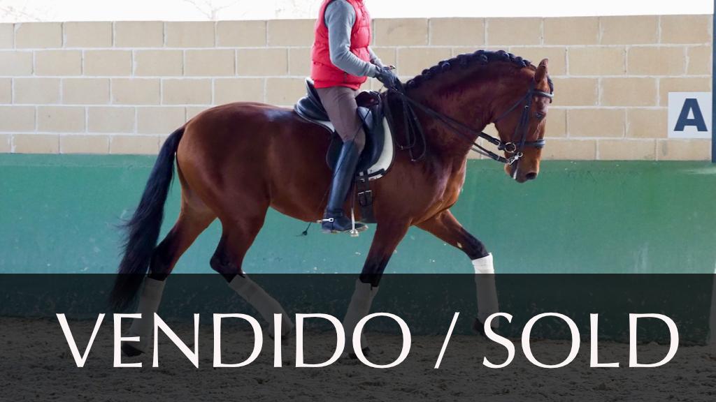 Brauner Andalusier Pferd niveau PSG piro frei  Cod. 10044