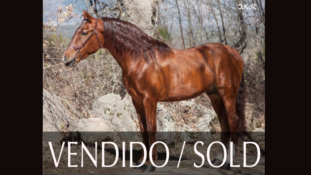 Andalusier Pferd Fuchs piro frei begann in Piaffe und Passage. Cod 6013