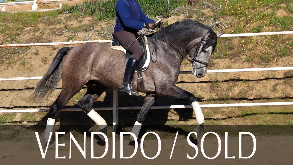 Caballo Español para doma en venta. Cod. 9488