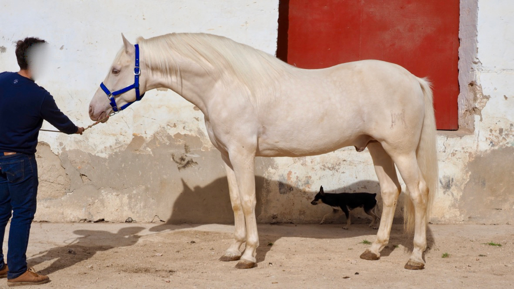 perlino Andalusian horse with Paco Marti brand