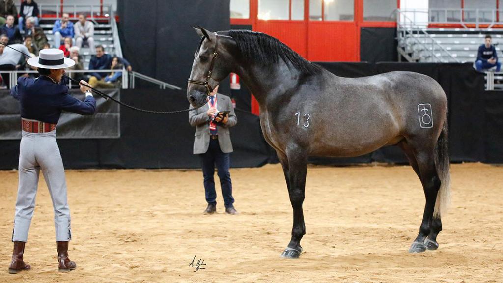 Caballo Español de concurso con 172 cm. Cod. 10135