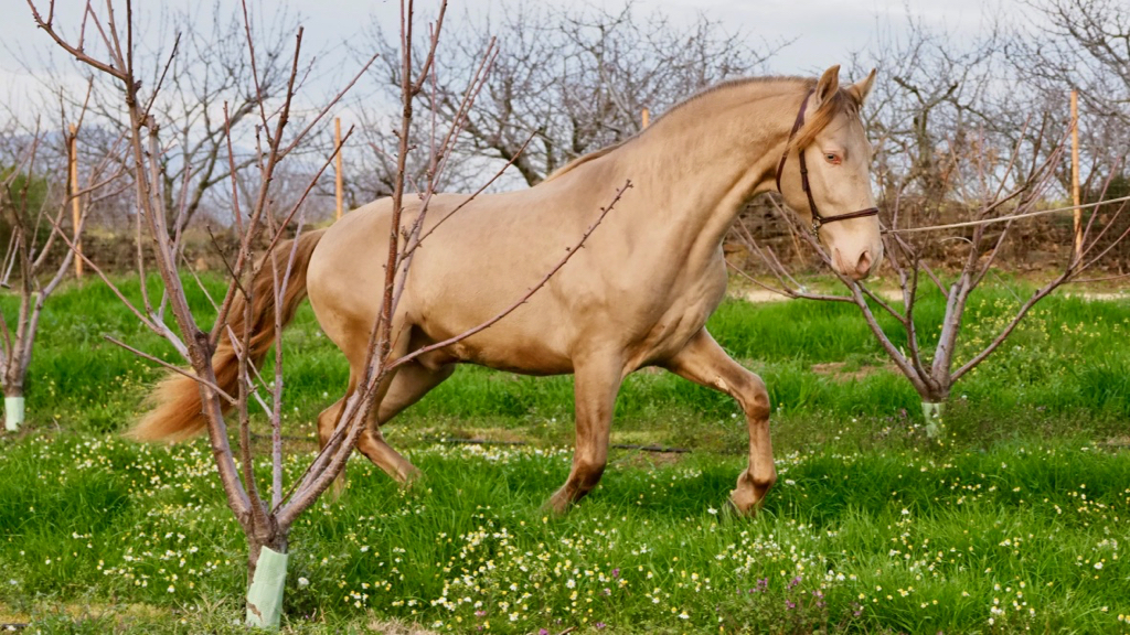 isabelo Andalusian for sale