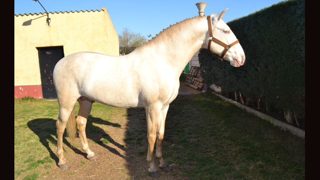 perlino lusitano horse for sale good price