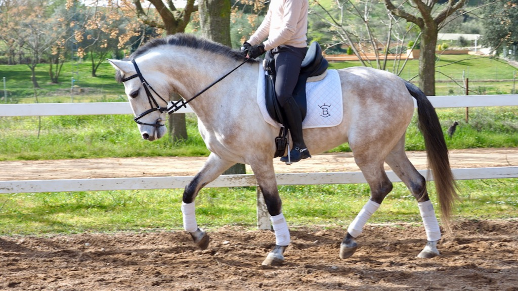 grey Andalusian horse for dressage