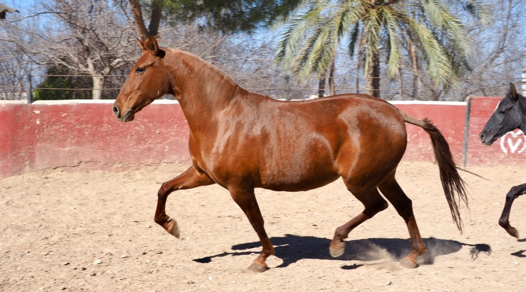Andalusian mare for sale