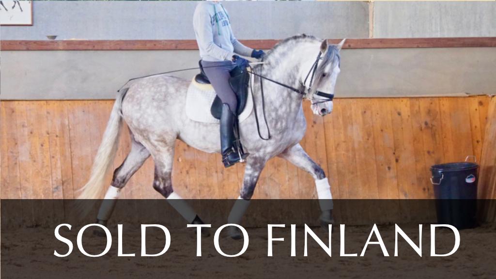 Andalusisches Pferd für jungen Reiter zum Verkauf. Cod 10966
