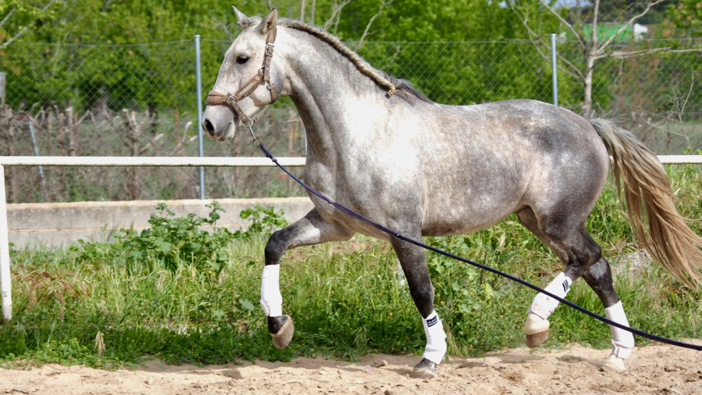 Colt Lusitano Horse good quality