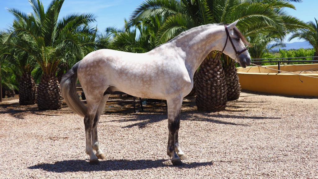 Grey Andalusian horse for sale, with the Granda brand