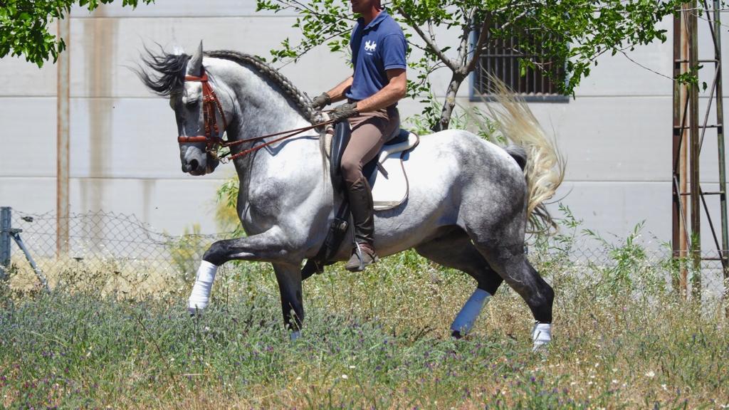 caballos españoles en venta