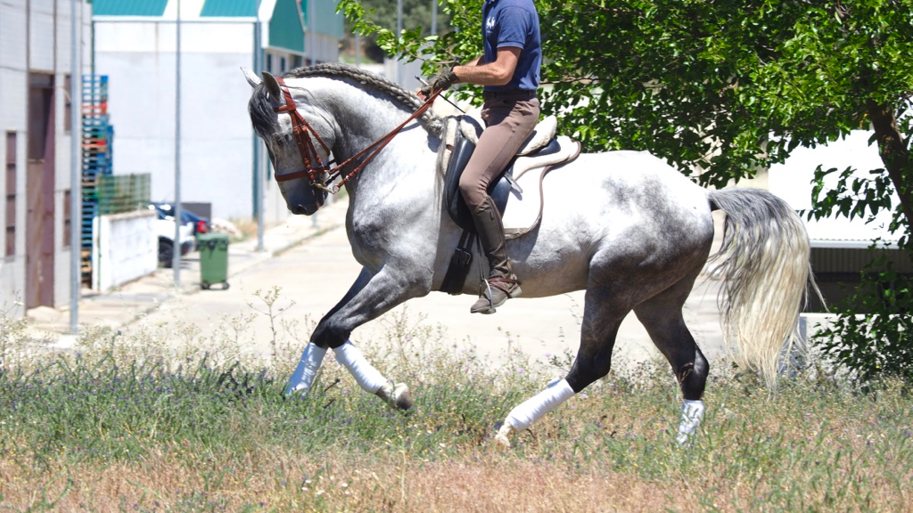 prix sant Georg andalusian for sale