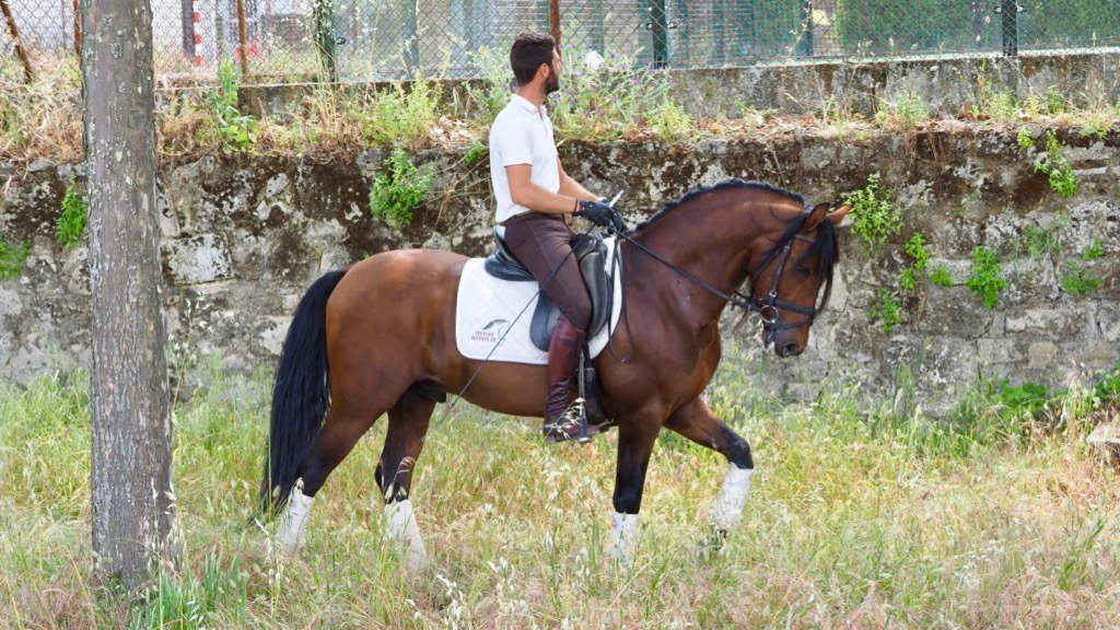 Bay Andalusian horse very easy for sale
