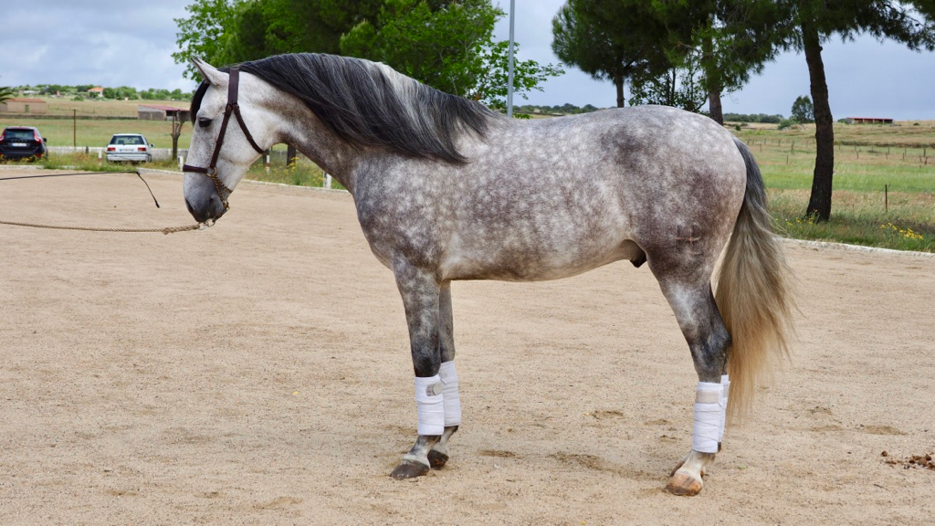Andalusian grey Horse for pleasure