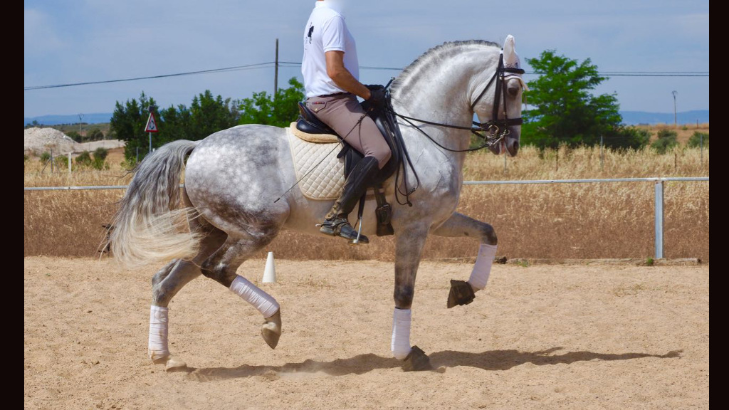 Lusitano horse for sale, Psg level and Inter I