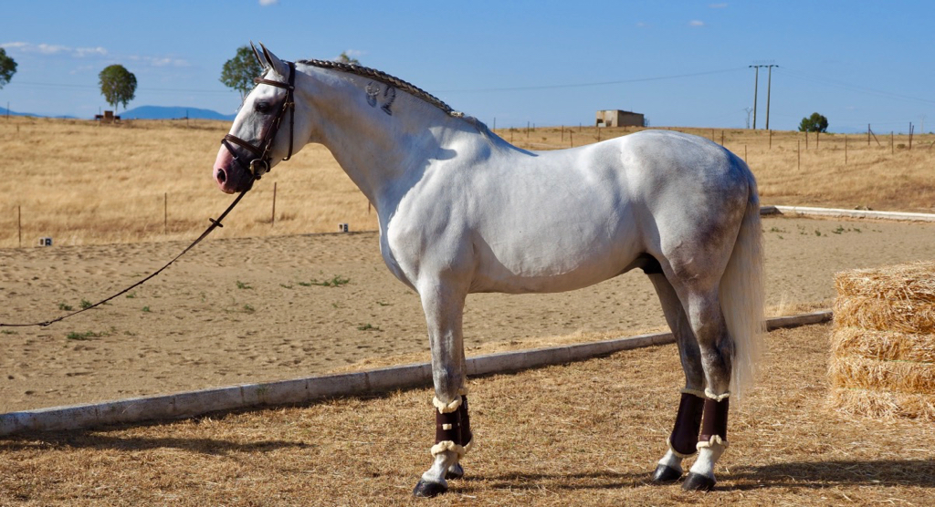 grand prix pre horses for sale