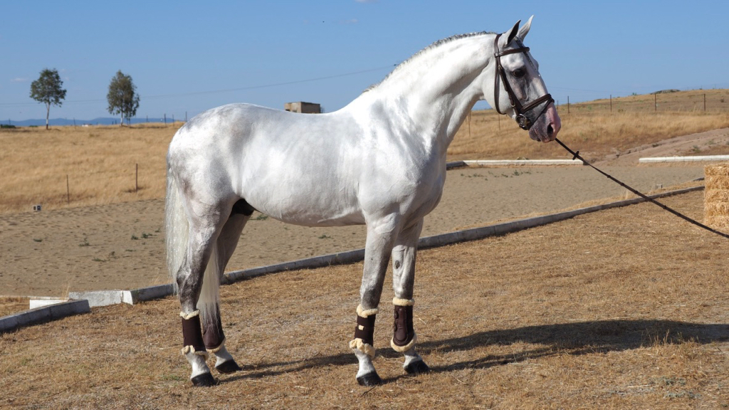 Lusitano Horse very easy for any rider. Cod 11936