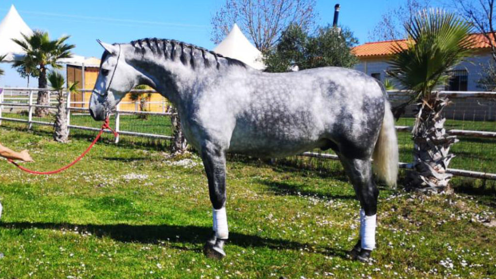 Grey-Andalusian-Colt-for-morphologial-shows