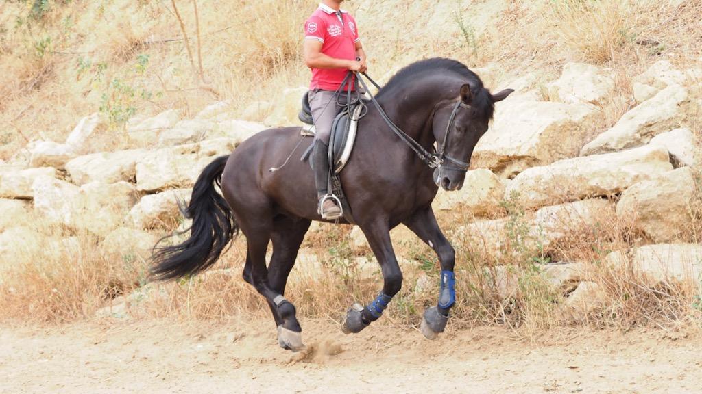Big Black Andalusian horse