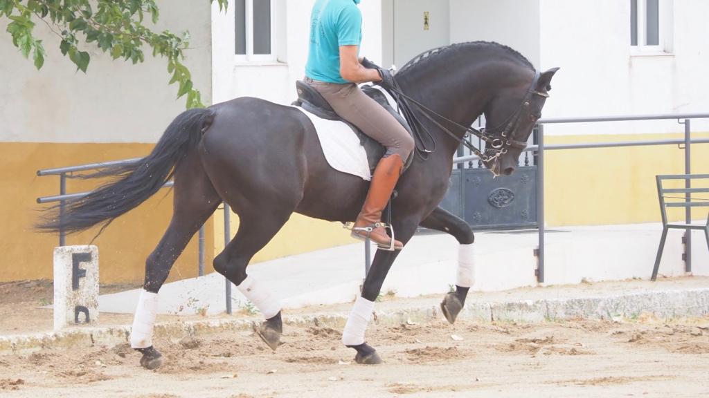 Caballo PRE Negro con piaffe, passage y paso español . Cod 12059