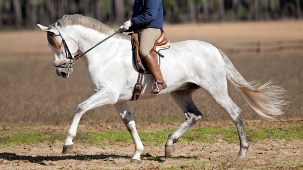 Big Andalusian Horse for Leasure and Dressage. Cod 12030