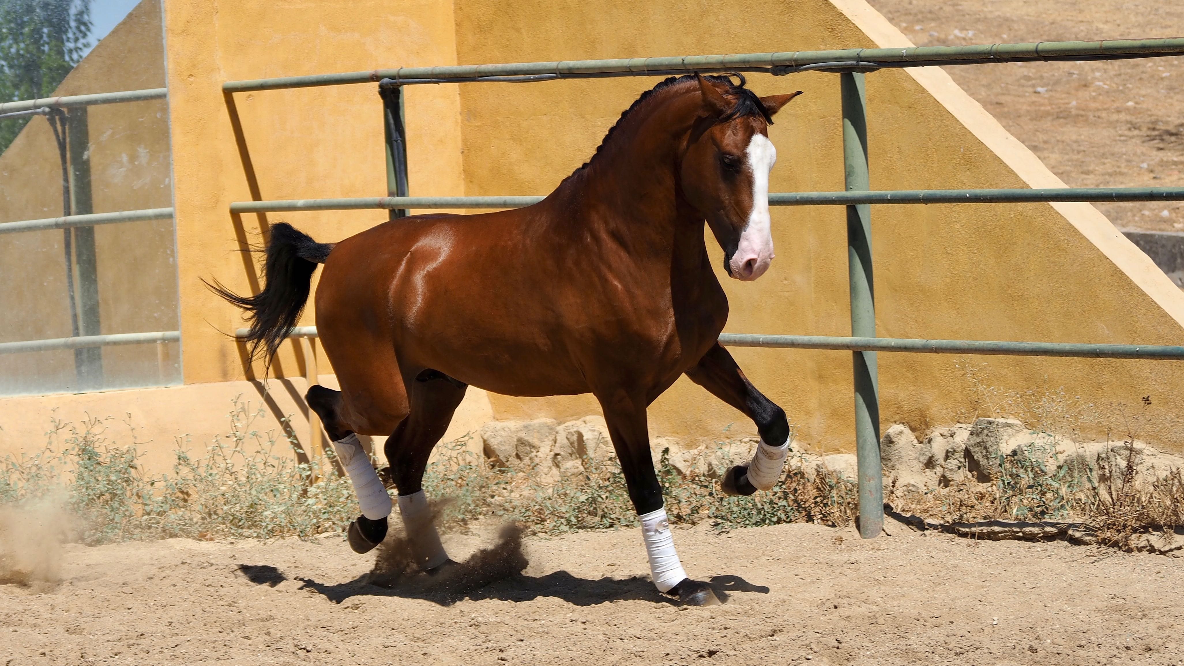 Special Bay Lusitano Horse for sale