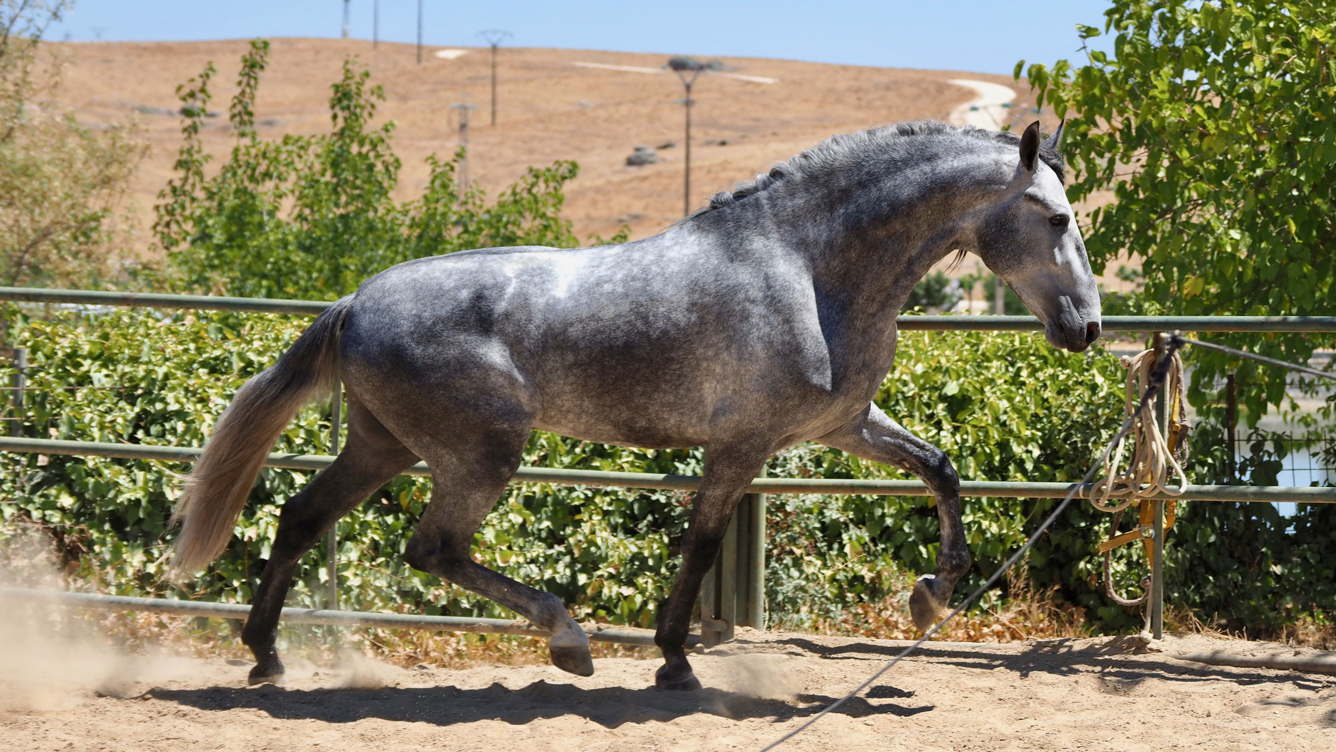 Grey Andalusian Horse very race piro free