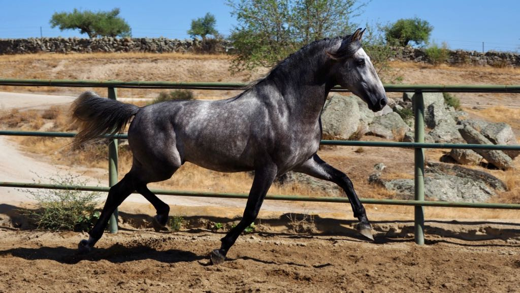 PRE Horse very good mover Son of Yaco de Torreluna. Very good conformation and super trot. We think that can be a good horse for sport, because of his powerful movements and good angles in his morphology.