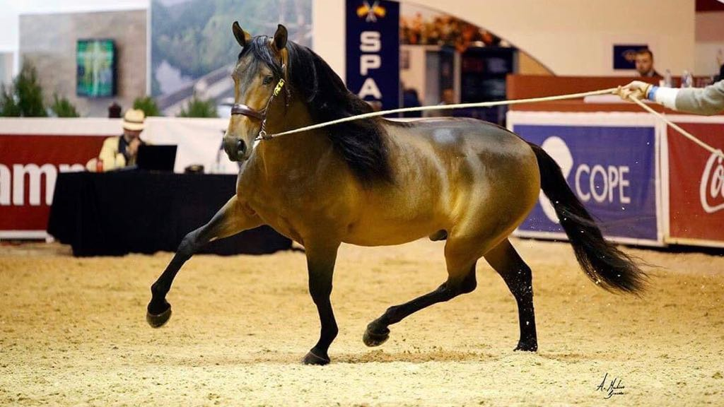 Bay Andalusian horse for sale