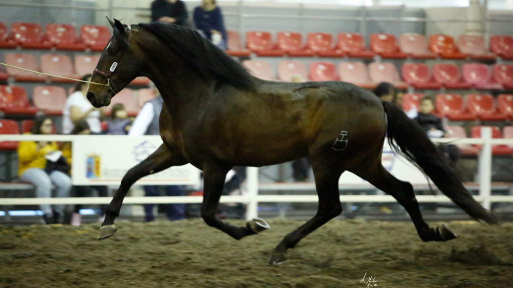 Bay Andalusian horse for morphological shows.