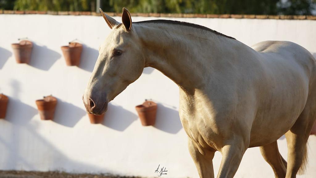 Impresionante Yegua PRE Perlina de calidad  . Cod 12624