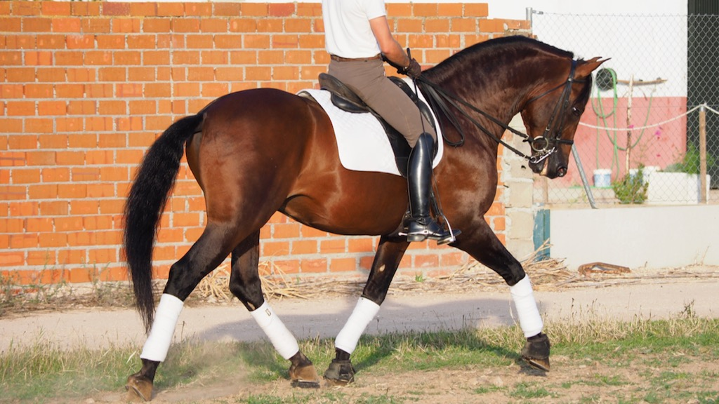 Andalusian Horse very easy and safe for sale. Cod 13405