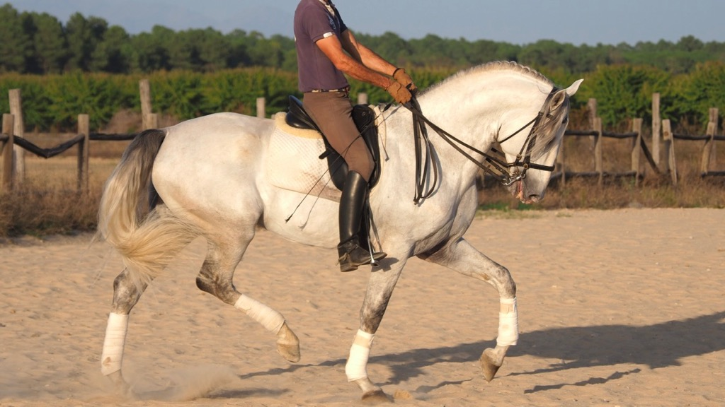 Lusitano Horse 170 cm tall with good origins. Cod 14259