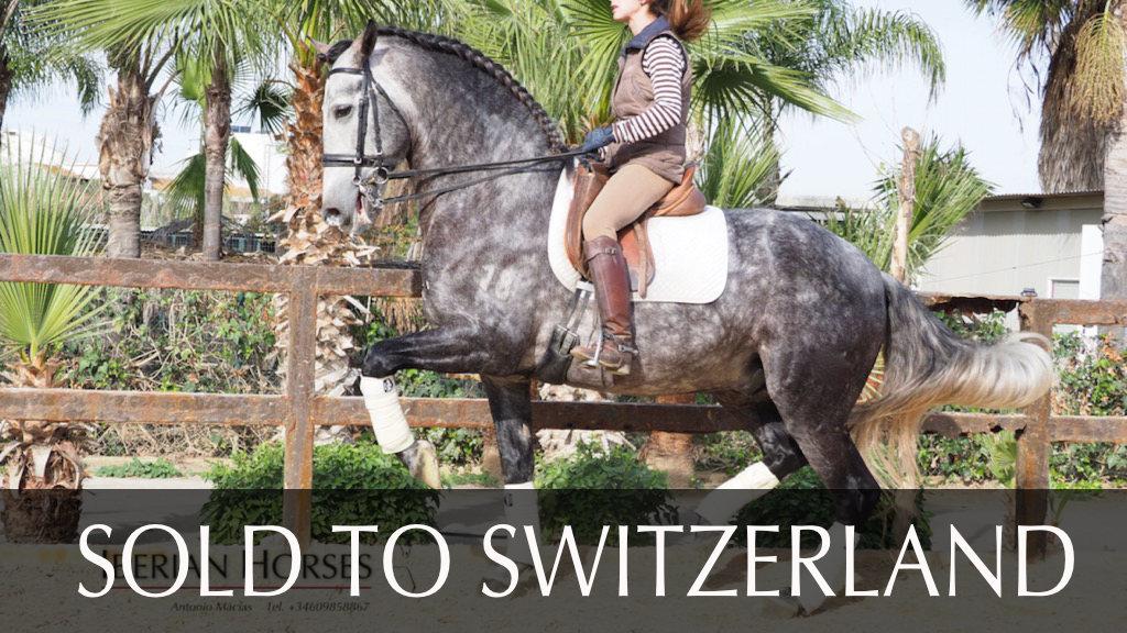 Fantástico caballo PRE para doma con piaffe-passage. Cod 14796