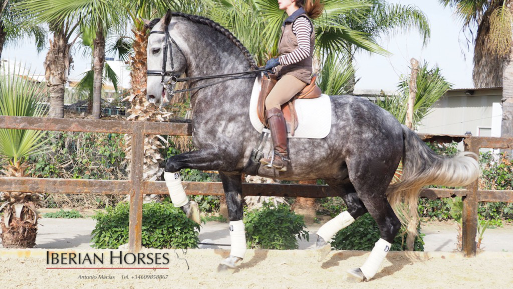 Dressage Andalusian horse with piaffe and passage