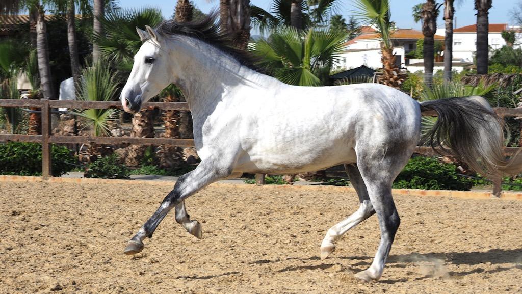 Grey Andalusian Horse bocado brand
