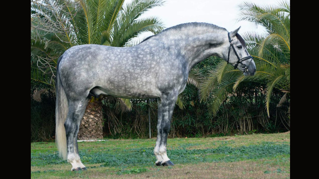 Barroco Pre horse for sale good price