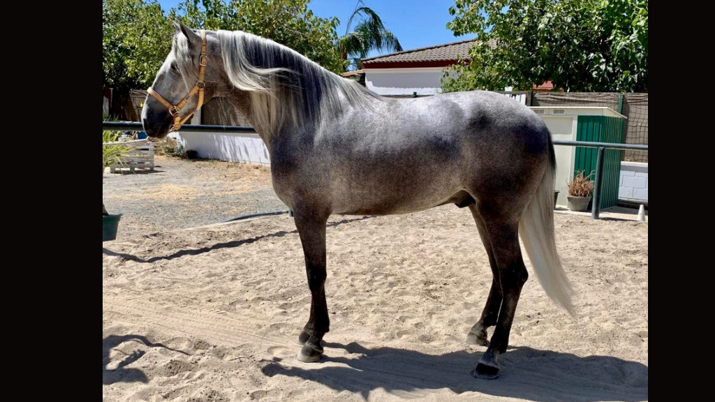 Andalusian Horse for morphological show for sale