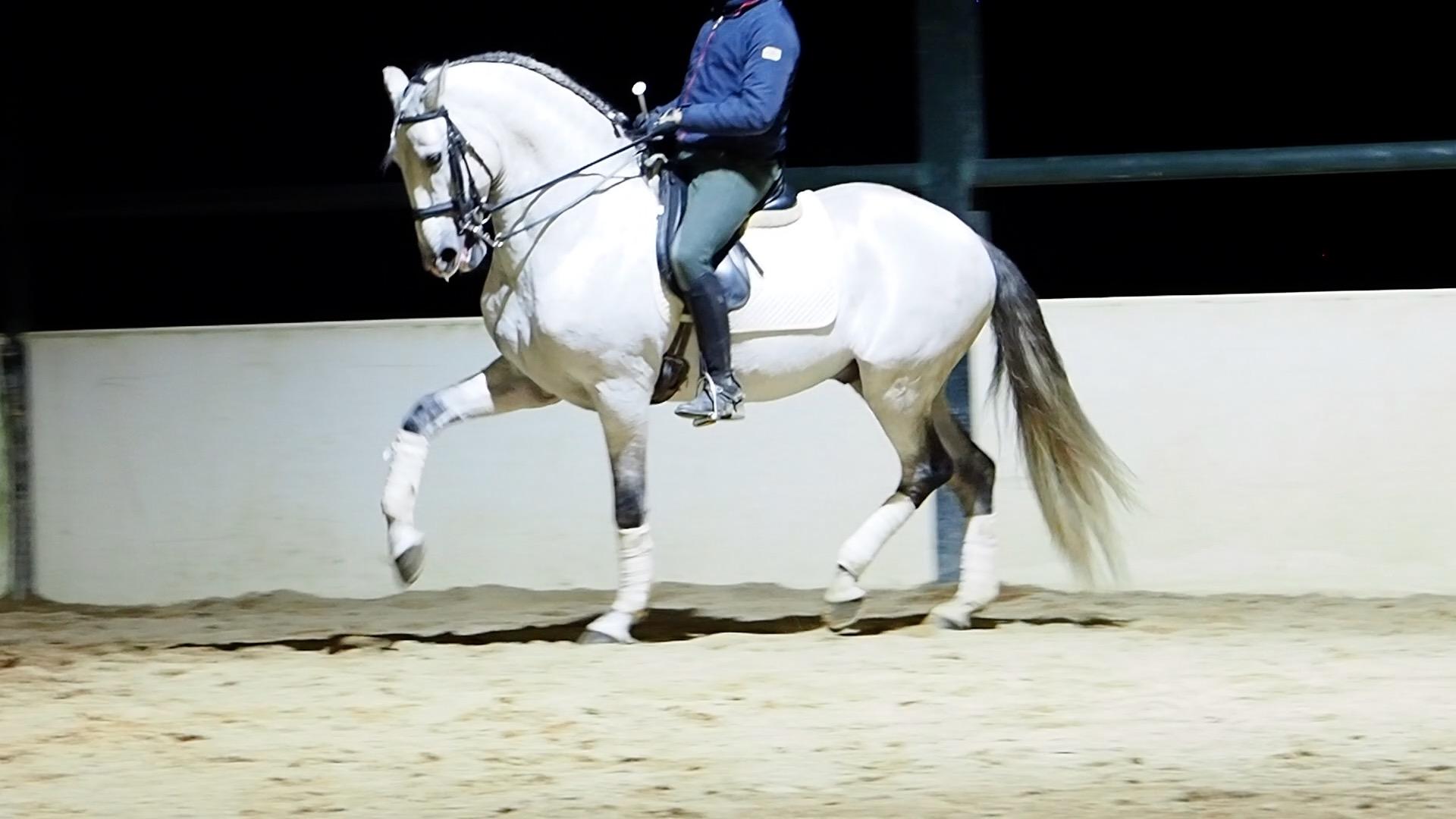 Fantástico caballo Lusitano Libre de Piro. Cod. 15158