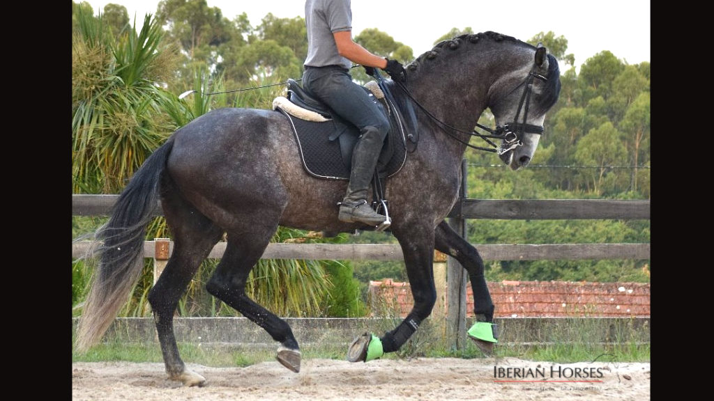 Andalusian Horse son of NERO II ideal for dressage. Cod 15616