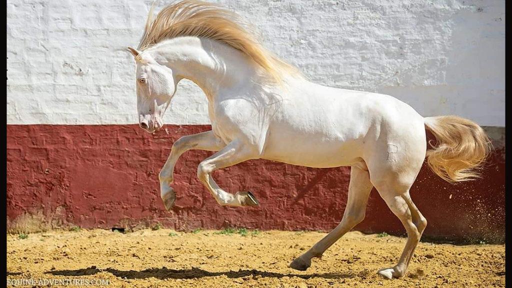 Perlino Andalusian Horse peralta brand